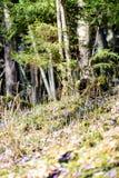 liverleaf bloemen, Hepatica-nobilis, in de lente bosbed stock fotografie