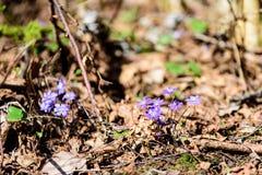 liverleaf bloemen, Hepatica-nobilis, in de lente bosbed royalty-vrije stock afbeeldingen