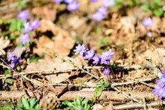 liverleaf bloemen, Hepatica-nobilis, in de lente bosbed stock afbeelding