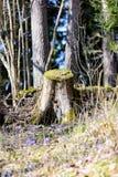 liverleaf bloemen, Hepatica-nobilis, in de lente bosbed royalty-vrije stock afbeelding