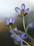 Liverleaf (Hepatica nobilis) Royalty Free Stock Photos