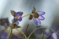 Liverleaf (Hepatica nobilis) Stock Photo