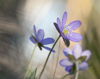 Liverleaf (Hepatica nobilis) macro photo stock photo