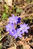 Liverleaf Hepatica nobilis na pogodnym wiosna dniu Zdjęcia Stock
