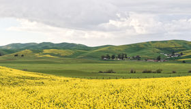 Livermore Wild Mustard in Bloom Stock Photos
