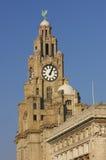Liverpool-Leber, die 01 aufbaut Stockbild