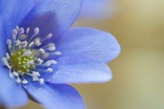 Liverwort closeup. Macro photo of liverwort flower. Closeup 1:1 Stock Photography