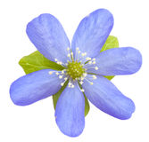 Liverwort flower. Blue liverwort flower isolated on a white background Royalty Free Stock Images