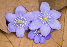 Liverwort flowers (Hepatica nobilis) Royalty Free Stock Images