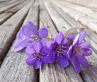 liverwort  flowers on wooden table Royalty Free Stock Photo