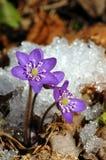Liverwort, Hepatica nobilis Lizenzfreies Stockfoto