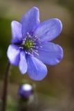 Liverwort Hepatica-nobilis 1 Stockbild