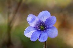 Liverwort Hepatica-nobilis 3 Stockbild