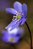 Liverwort Hepatica-nobilis 2 Stockfotos