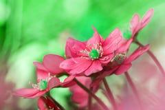 Liverwort Hepatica-nobilis 6 Stockbilder