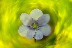 Liverwort Hepatica-nobilis 7 Stockfotos