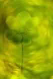 Liverwort Hepatica-nobilis Lizenzfreies Stockbild