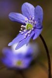Liverwort Hepatica nobilis 2 Stock Photos