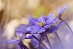 Liverwort Hepatica nobilis  Stock Photo