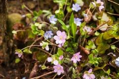 Liverwort Stock Photo