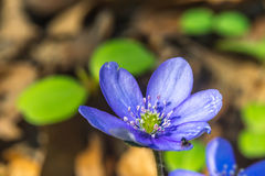 Liverworts flower, (Hepatica nobilis), with small insect early Slovak spring, closeup Stock Images