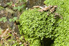 Liverworts growing on a water fountain. Marchantiophyta, non-vascular bryophyte land plants,  hepatics, liverworts growing on a water fountain Stock Photo