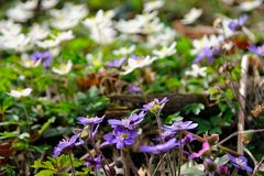 Liverworts and windflowers royalty free stock photo