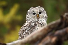 Strix uralensis. It also occurs in the Czech Republic. Rare owl. Autumn colors in the photo. Beautiful photo. royalty free stock photo