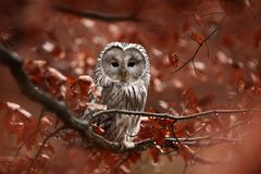 Strix uralensis. It also occurs in the Czech Republic. Rare owl. Autumn colors in the photo. Beautiful photo. royalty free stock photography