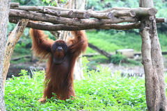 Lives of orangutans Royalty Free Stock Image