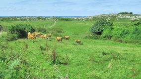 Livesctock που κοιτάζει στο φυσικό περιβάλλον στον πράσινο τομέα λιβαδιών στην ηλιόλουστη ημέρα απόθεμα βίντεο