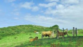 Livesctock που κοιτάζει στο φυσικό περιβάλλον στον πράσινο τομέα λιβαδιών στην ηλιόλουστη ημέρα φιλμ μικρού μήκους