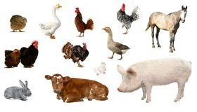Livestock. On a white background Royalty Free Stock Image