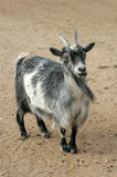 LiveStock. Domesticated White and Grey Goat in Barn Yard Royalty Free Stock Photo