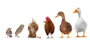 Livestock. On a white background Royalty Free Stock Photography