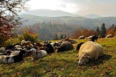 Livestock Stock Image