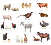 livestock fotografia de stock royalty free