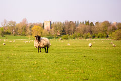 livestock fotos de stock royalty free