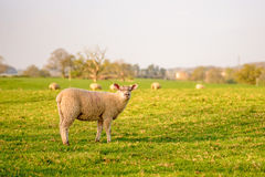 livestock imagem de stock royalty free