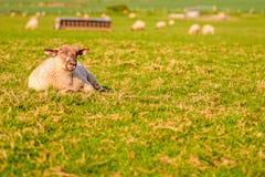 livestock foto de stock
