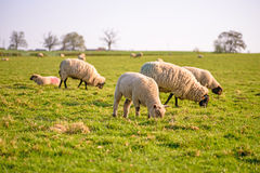 livestock Στοκ Φωτογραφίες