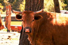 Livestock-1 Foto de Stock Royalty Free