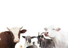 livestock imagens de stock royalty free