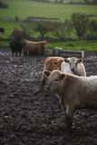 LIVESTOCK Stock Photos