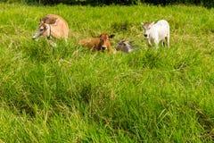 livestock foto de stock royalty free