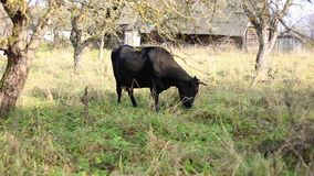 Livestock. Black cow eating grass in a meadow. An animal with horns and hooves. Livestock. Black cow eating grass in a meadow. Plot in the village. Glade with stock footage