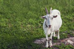 livestock Cabra branca em um prado verde no verão fotografia de stock royalty free