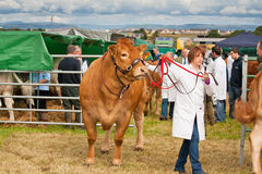 Livestock competition Stock Photography