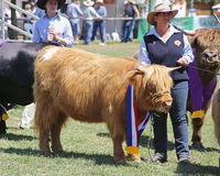 Livestock competition Royalty Free Stock Photography