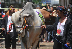 Livestock contest in Indonesia Stock Image